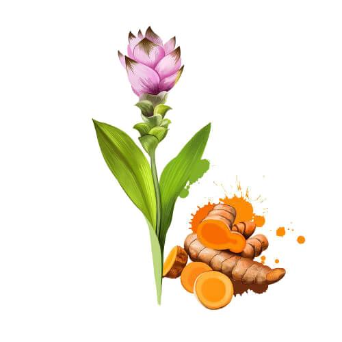 A cúrcuma apresenta folhas grandes e um rizoma rico em curcumina.
