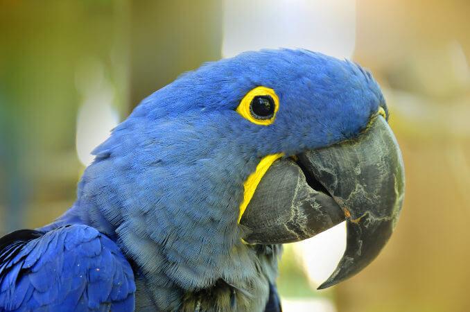Observe as penas azuis e os detalhes em amarelo na cabeça da arara-azul.