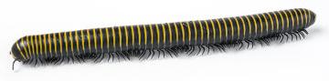 O embuá é um exemplo de diplópode, pois possui dois pares de patas por segmento