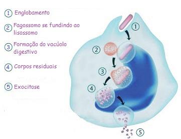 Observe a captura de uma partícula pelo processo de fagocitose e a eliminação dos corpos residuais por exocitose