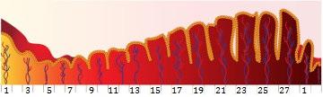A figura acima representa o desenvolvimento do endométrio durante o ciclo menstrual