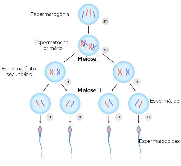 A espermatogênese é o processo que leva à formação do espermatozoide.