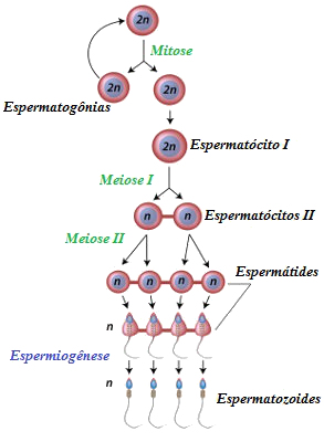 Espermatogênese é o processo responsável pela formação dos espermatozoides