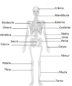 Observe o nome de alguns ossos do sistema esquelético humano