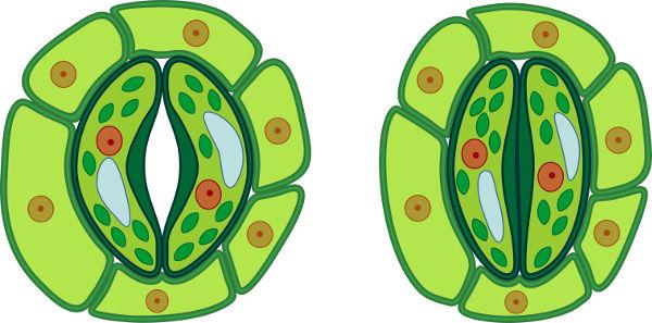 acf06e517b145 O termo estômato é utilizado, geralmente, para identificar o poro e as  células-