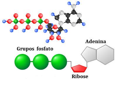 Estrutura da molécula de ATP, que está relacionada com a liberação de energia na célula