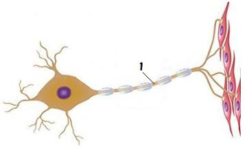 Observe a parte do neurônio indicada pelo número 1