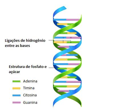 O esquema acima mostra a estrutura do DNA segundo Watson e Crick