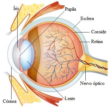 Observe atentamente o esquema mostrando a estrutura do olho
