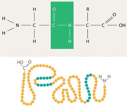 Estrutura primária de uma proteína