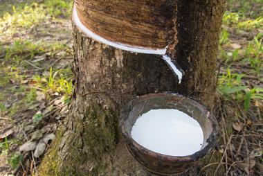 A extração do látex da seringueira: um exemplo de extrativismo vegetal