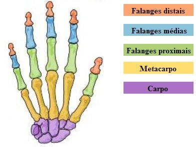 Ossos dos dedos