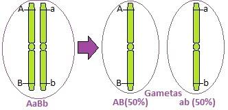 Observe que, na formação dos gametas, os genes migram juntos
