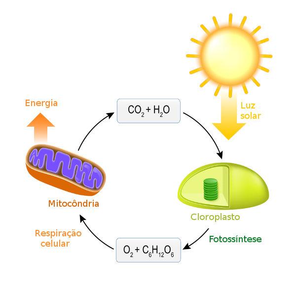 O oxigênio produzido na fotossíntese é utilizado pela célula na produção de energia.