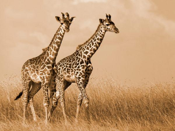 De acordo com as ideias de Lamarck, as girafas adquiriram pescoço longo em decorrência da necessidade de se conseguir alimentos.