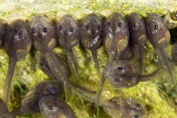 O girino respira por brânquias, possui cauda e não apresenta patas