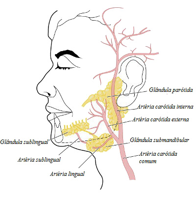 As glândulas salivares produzem a saliva