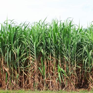 Cana-de-açúcar: principal matéria-prima para o etanol produzido no Brasil