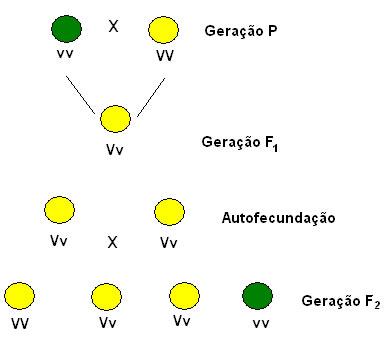 Imagem ilustrando como Mendel cruzou as ervilhas