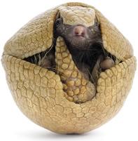 Uma das principais características do tatu-bola é a sua capacidade de se enrolar como uma bola para se defender de predadores