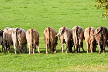 A digestão do gado emite metano na atmosfera