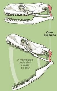 Serpentes caracter sticas das serpentes mundo educa o for O osso esterno e dividido em
