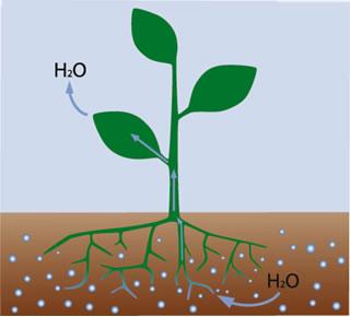 Osmose nas raízes das plantas