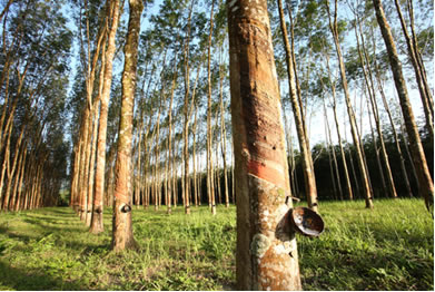 Árvores de seringueira onde se coleta o látex