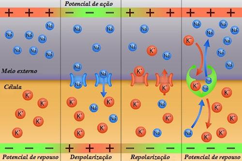 Observe como ocorre a propagação do impulso nervoso pela membrana do neurônio