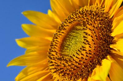 A Asteraceae apresenta um tipo peculiar de inflorescência