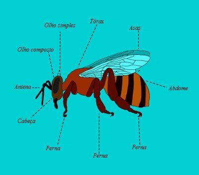 Observe as principais partes do corpo do inseto
