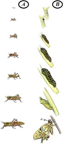 Observe o desenvolvimento dos dois insetos acima