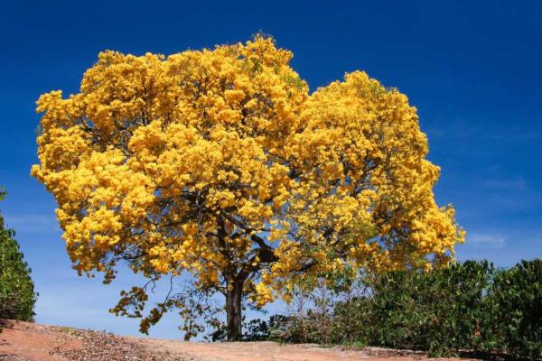 O ipê-amarelo é uma espécie bastante encontrada no bioma Cerrado.