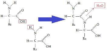 Observe o esquema de uma ligação peptídica