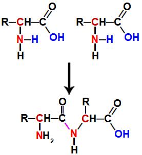 Representação de ligação peptídica entre dois aminoácidos