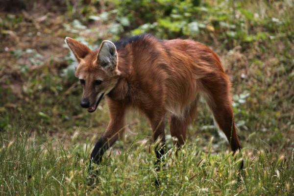 O lobo-guará é uma das espécies encontradas na fauna do bioma Cerrado.
