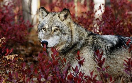 O lobo-cinzento foi a espécie de mamífero mais amplamente distribuída no planeta