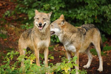Os lobos, geralmente, não atacam seres humanos