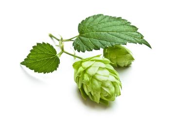 A flor feminina do lúpulo é usada na produção da cerveja