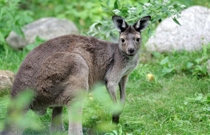 Macropus fuliginosus é uma espécie encontrada no sul da Austrália.