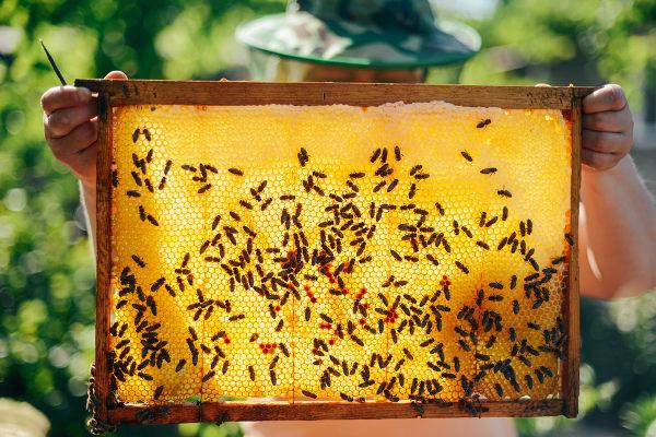 As abelhas produzem mel, que é utilizado por esses animais como alimento.