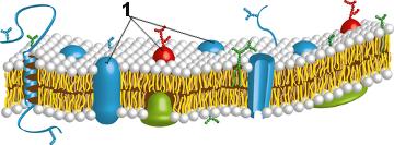 Esquema da membrana plasmática de acordo com o modelo de Singer e Nicholson