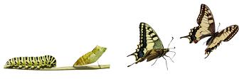 Esquema do desenvolvimento de uma borboleta