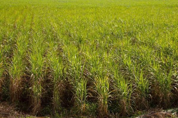 O Brasil é um dos principais produtores de cana-de-açúcar do mundo.