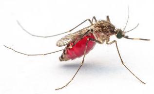 O mosquito é um inseto, uma vez que possui seis patas e asas
