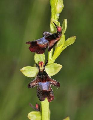 O formato e o odor da orquídea Ophrys insectifera atraem uma vespa que garante sua polinização