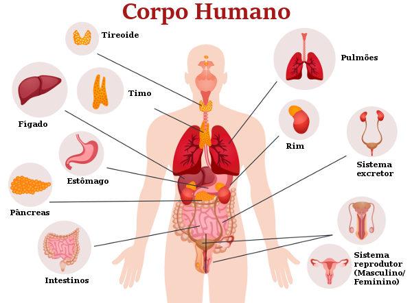 O corpo humano apresenta uma série de órgãos essenciais para o seu funcionamento adequado.