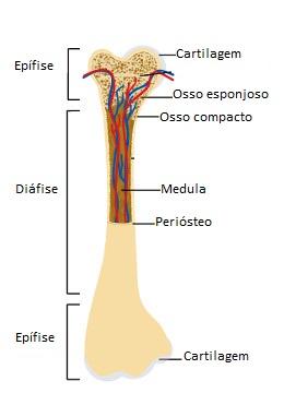 Observe a estrutura de um osso longo