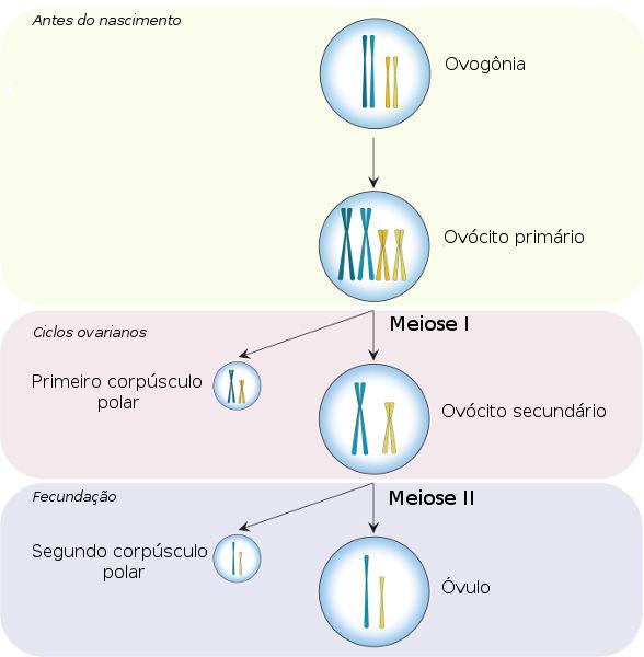A ovogênese ocorre no interior do ovário feminino e leva à formação do óvulo.