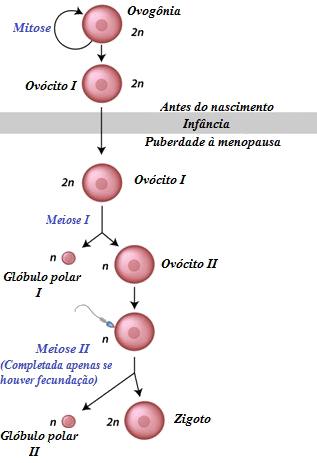 Ovogênese é o processo responsável pela formação de gametas femininos